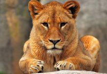 lioness in africa, safari