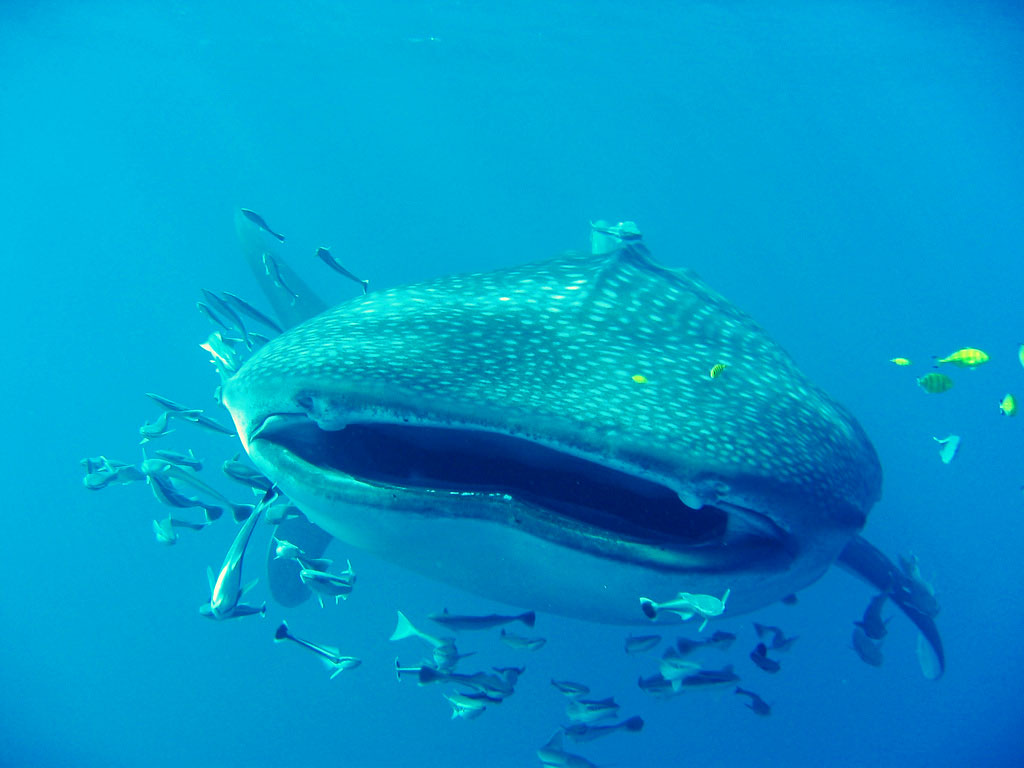 seychelles whale shark