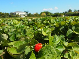 Strawberry Field | Homestead, Florida