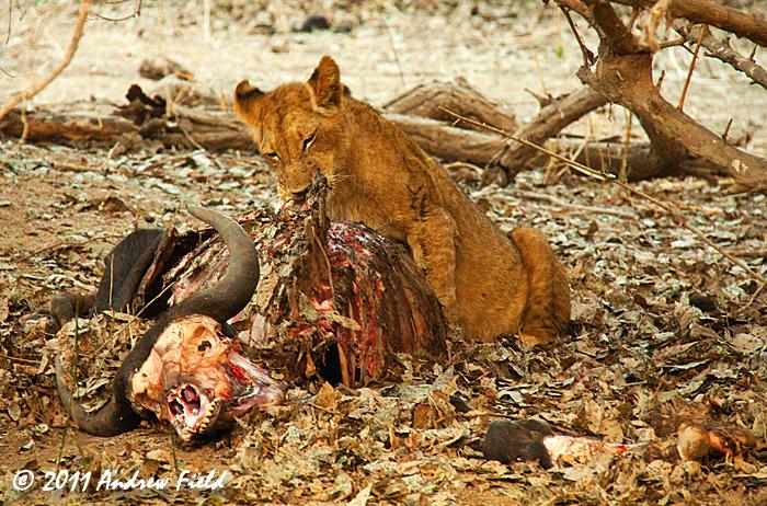 Nine Lions and a Buffalo | Zimbabwe, Africa