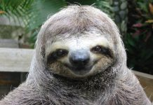Watch a sloth, sloth video
