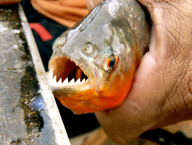 And This Little Tourist Swam With Piranhas | Amazon, Peru