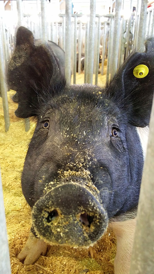 clay county agricultural fair pig