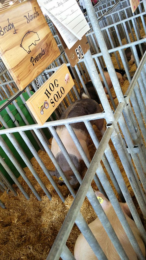 clay county agricultural fair pigs