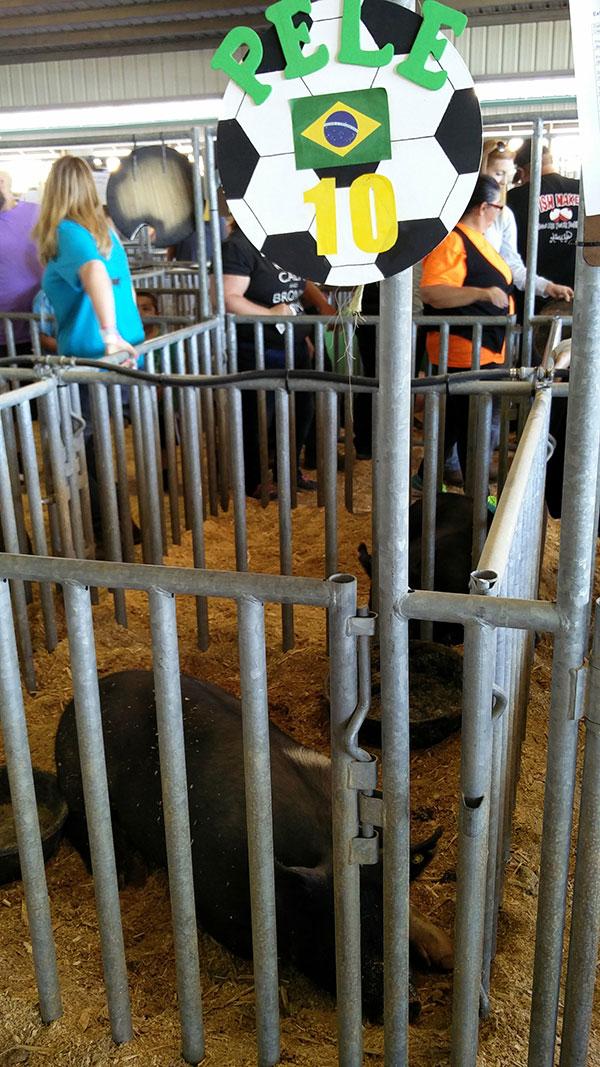 clay county agricultural fair pig exhibit