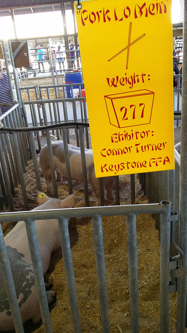 clay county fair exhibit of pigs