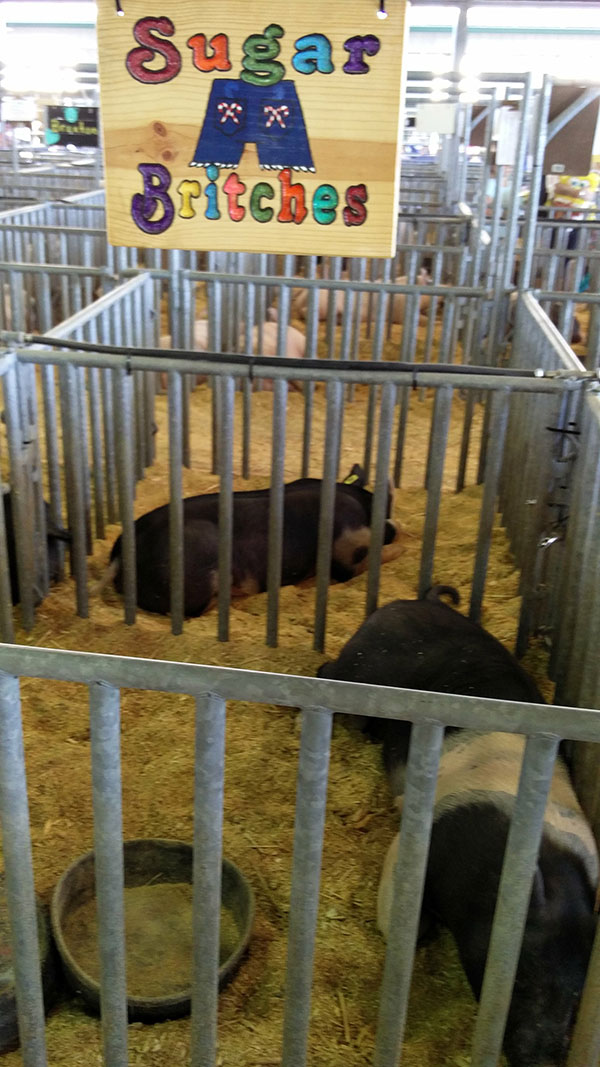 clay county fair livestock exhibit