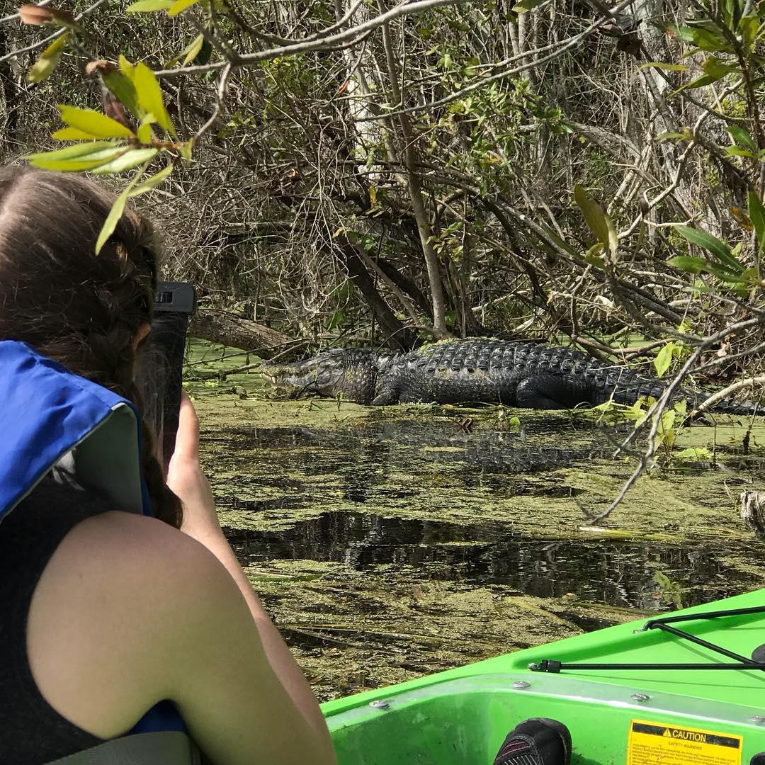Gators in a Florida Spring.